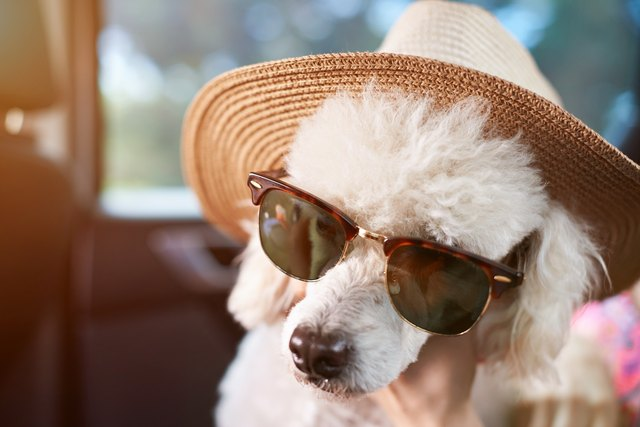 Dog in sunglasses with hat