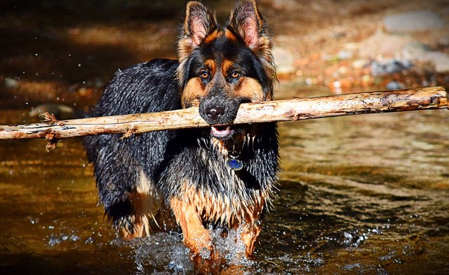 Wet Dog Carrying Stick In Mouth While Running In Lake