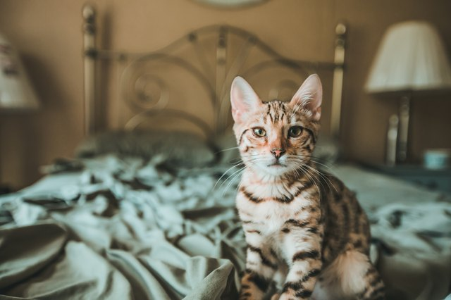 Bengal Kitten Looking At Camera