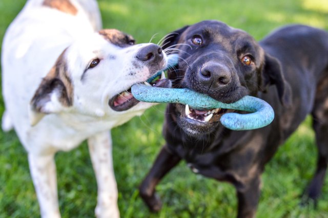 Mixed breed puppy and black labrador retriever playing with a tug of war toy outdoors on a bright summer day