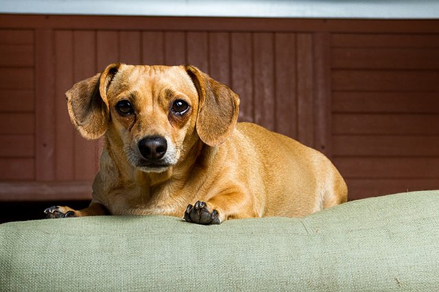 About Chiweenie Dogs Cuteness
