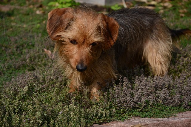About Dachshund Yorkie Mixes Cuteness