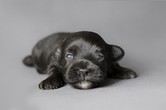 Are Puppies Born With Hair Cuteness
