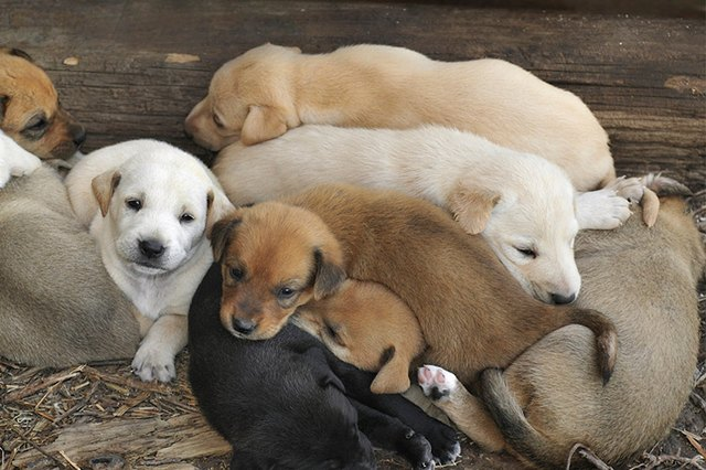 Dog Giving Birth To Puppies