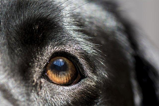 Canine Keratitis Cuteness