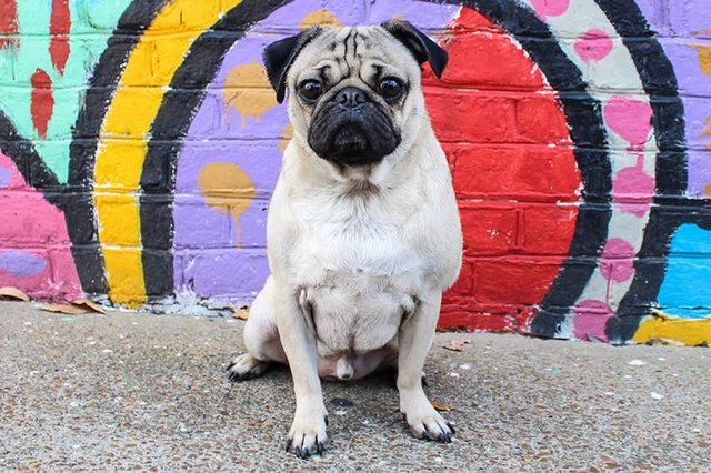Cuteness interviews doug the pug cuteness in fact his videos are what made us fall in love with doug in a big way so if you havent seen them then get watching m4hsunfo