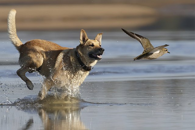 Image of: Dirds Fastmoving Prey Like Birds Some Dogs Have Higher Prey Drive Than Others And Require Training To Prevent Injury To Local Wildlife Field Stream Do All Dogs Like To Chase Birds Cuteness