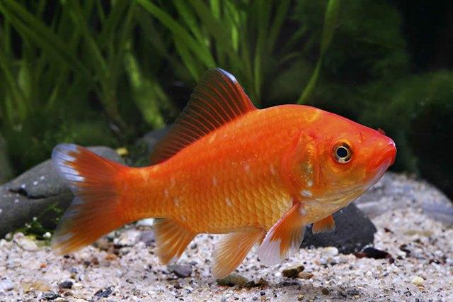 Do goldfish sleep cuteness for How do fishes sleep