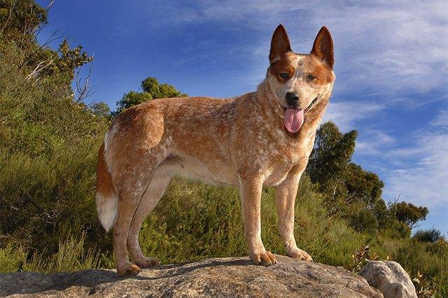 How Big Do Australian Cattle Dogs Get