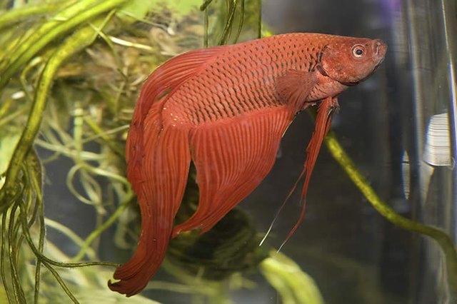 Big Betta Fish | How Long Do Betta Fish Live Cuteness