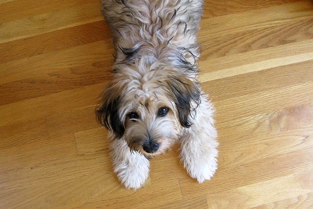 How To Protect Hardwood Floors From Dogs Cuteness