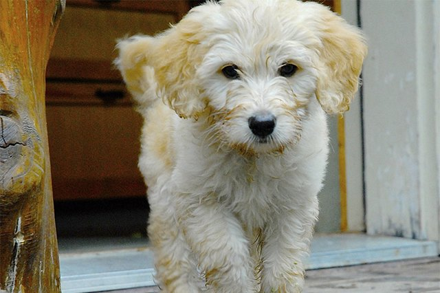 One Such Designer Dog Is The Goldendoodle A Combination Of Golden Retriever And Standard Poodle