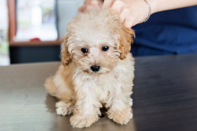 When Is A Puppy Fully Vaccinated For Parvo Cuteness