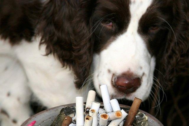 what happens if a dog eats a cigarette butt