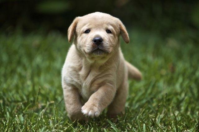 Are Australian Shepherd Dogs Good With Kids