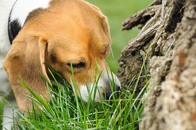 Pica In Dogs Eating Dirt