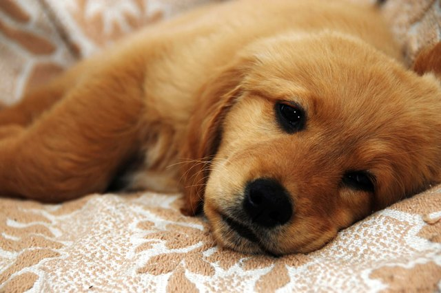 Adult Dog Eating Puppy Food Vomit