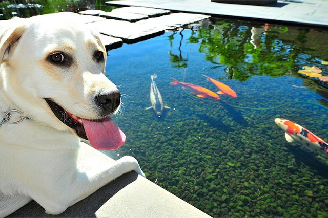 Do Koi Fish Eat Dog Food