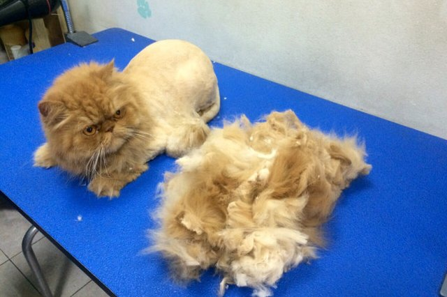 Top 10 Cats With Bad Haircuts Cuteness