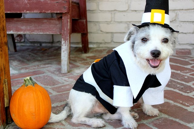 How to make a pilgrim costume for your dog cuteness this pilgrim costume for dogs will have your canine buddy ready for both halloween and thanksgiving photo ops it features a black shirt with white collar solutioingenieria Choice Image