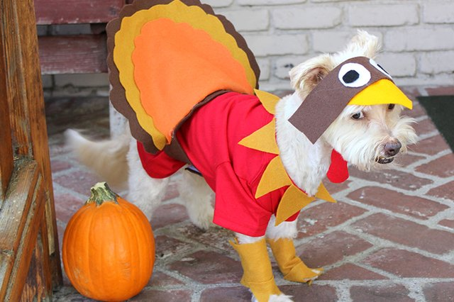 & How To Make A Turkey Costume For A Dog   Cuteness