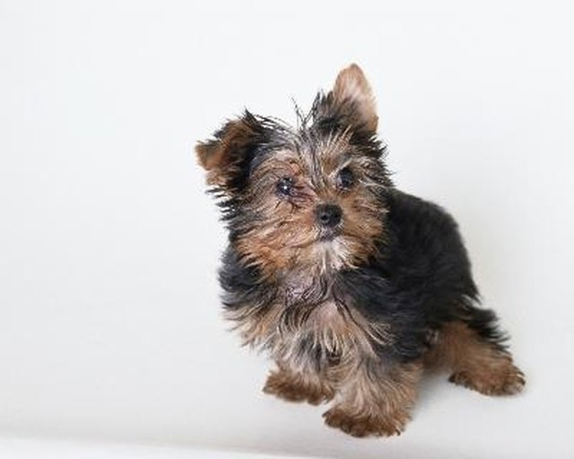 How To Potty Train A Yorkie Poo Cuteness