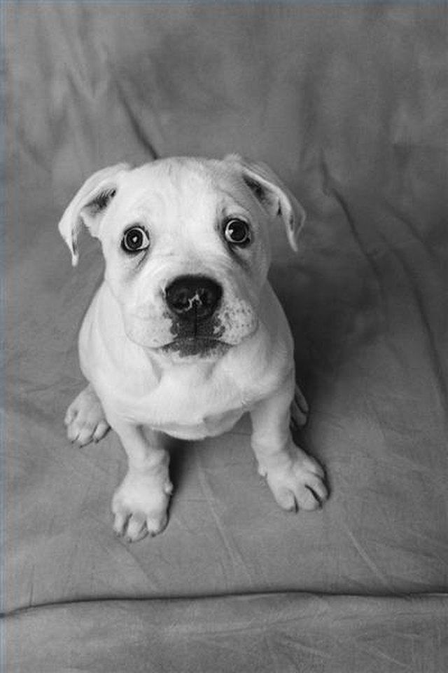 Amoxicillin Side Effects In Dogs Cuteness