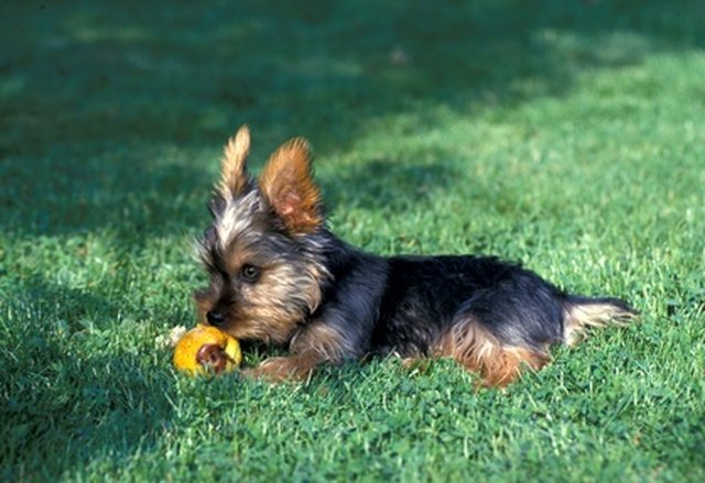 Why Don T A Yorkie S Ears Stand Up Cuteness