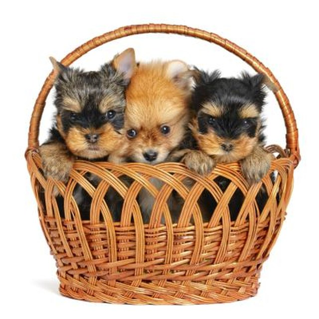 how to take care of a pomeranian puppy how to take care of a pomeranian yorkie mix cuteness 3416