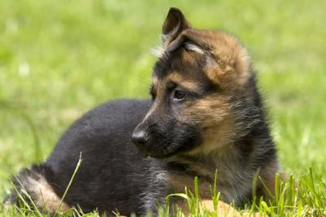 Image result for free german shepherd puppy image