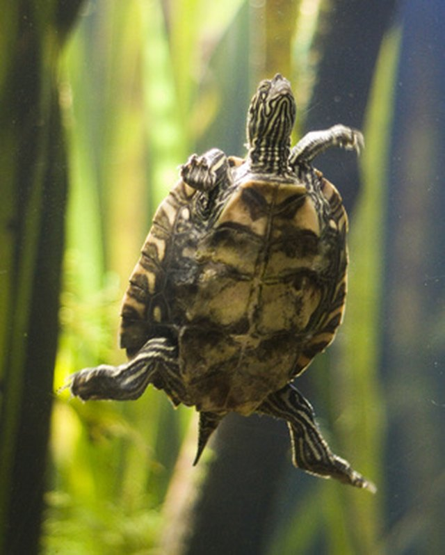 How To Take Care Of A Fresh Water Turtle Cuteness