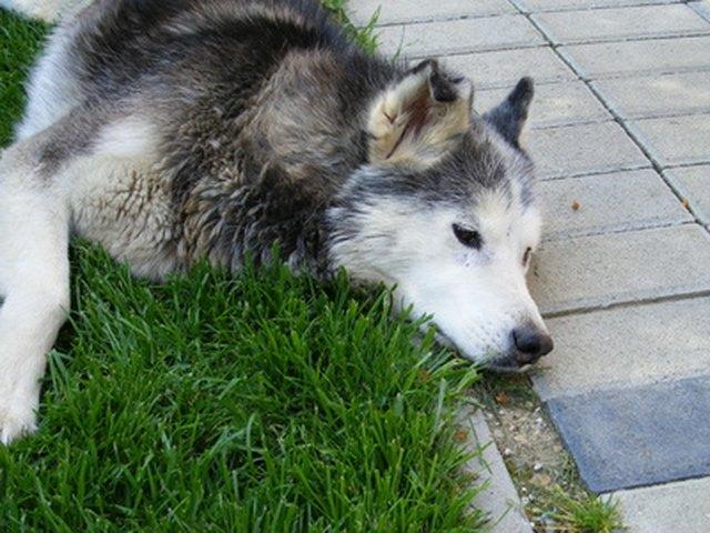 How To Stop Diarrhea In Siberian Huskies Cuteness