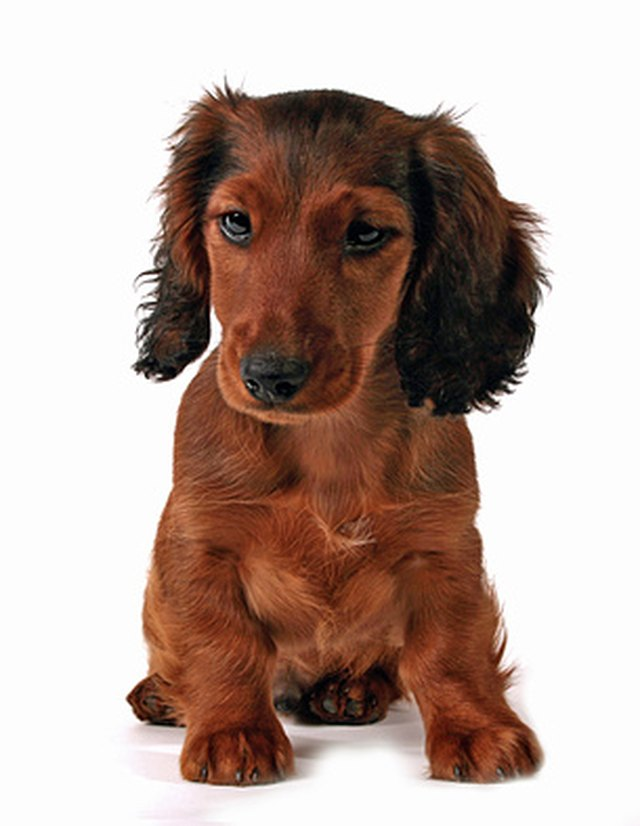 How Much Should My 5 Month Old Dachshund Weigh Cuteness