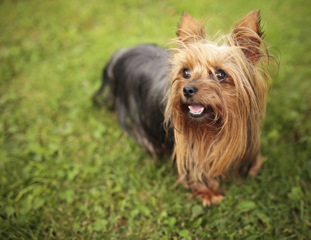 How To Tell If A Yorkie Is The Right Weight Cuteness