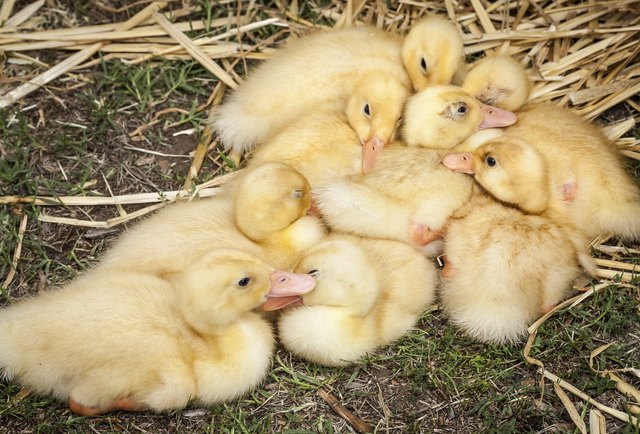 How To Take Care Of Domesticated Pekin Ducks Cuteness