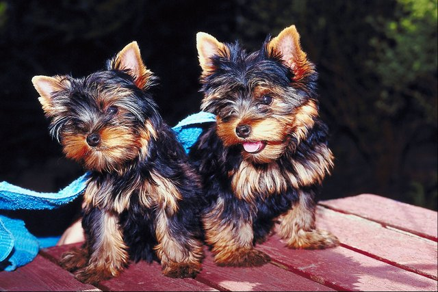 How Do I Tell If My Yorkie Is Pregnant Cuteness