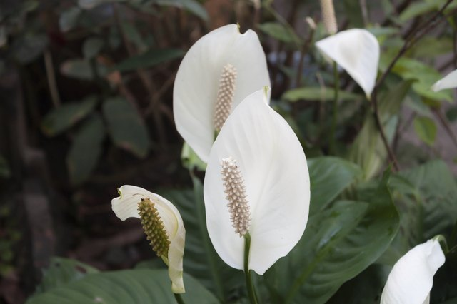 Are peace lilies poisonous to cats cuteness beautiful white spathiphyllum flowerpeace lily mightylinksfo