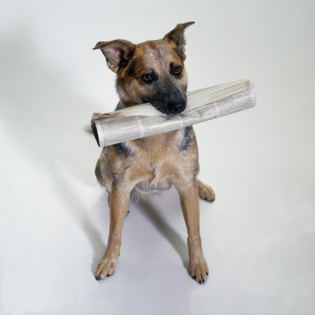 How To Train An Australian Cattle Dog Puppy