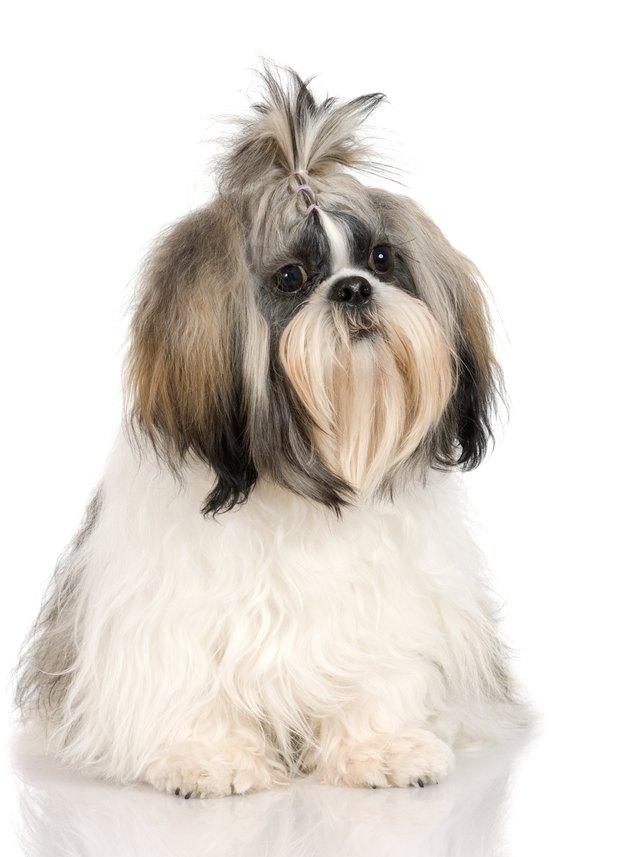Hairstyles For Shih Tzus Cuteness