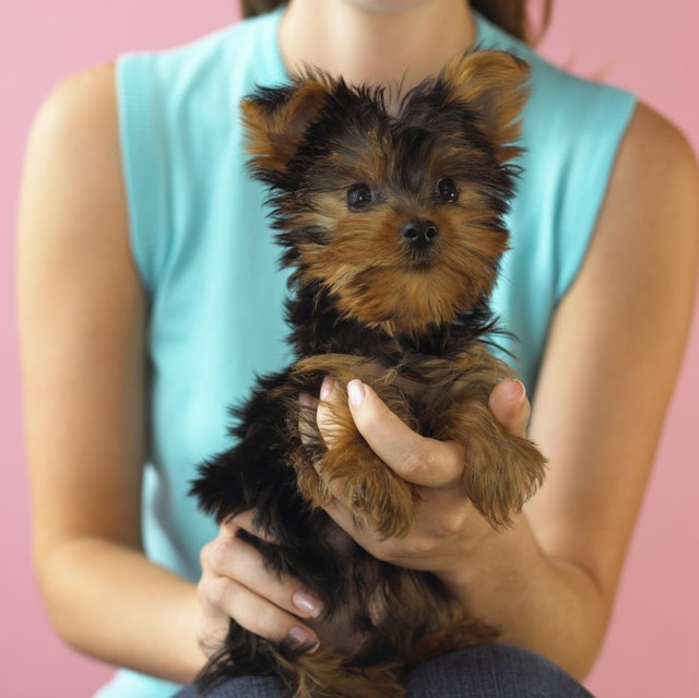 How To Give A Yorkie Girl A Haircut Cuteness