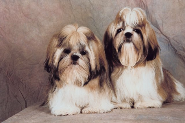 Shih Tzu Mating Facts Cuteness