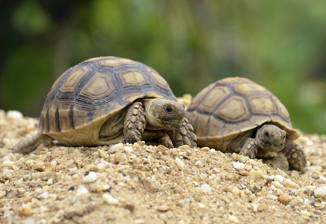 The Difference Between Male Female Sulcata Tortoises Cuteness