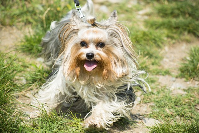 Types Of Yorkie Breeds Cuteness