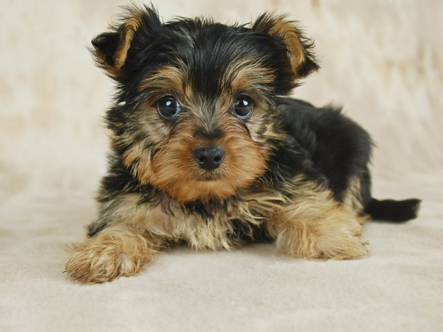 How To Take Care Of A Teacup Yorkie Puppy Cuteness
