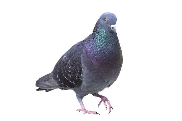 difference between male female pigeons cuteness