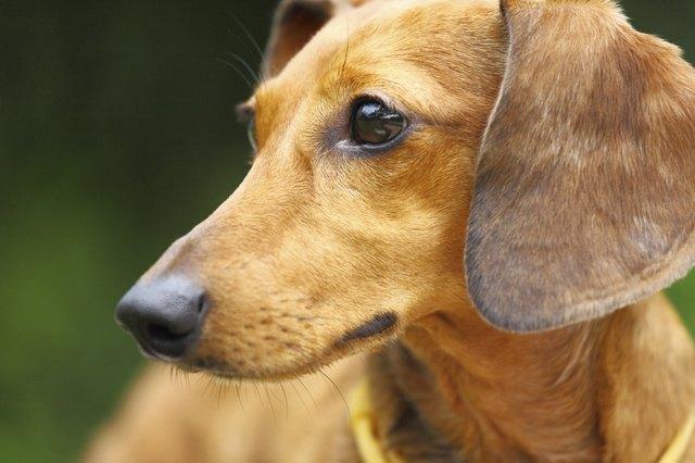 Dog High Pitched Bark