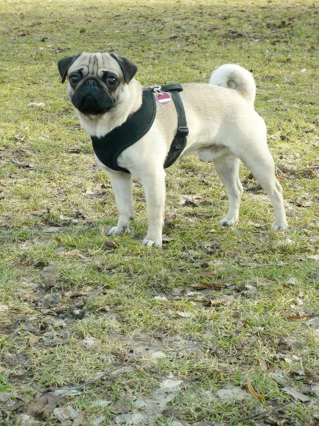 Put on a Top Paw Adjustable Harness | Cuteness