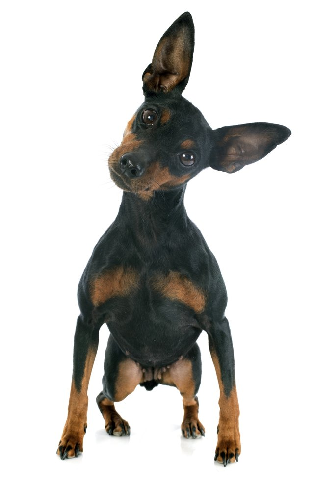 facts about miniature pinscher dogs cuteness