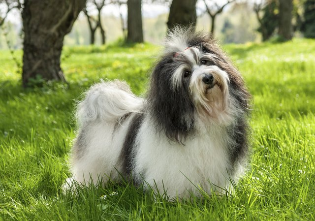 Cute Havanese dog in a beautiful sunny grassy field