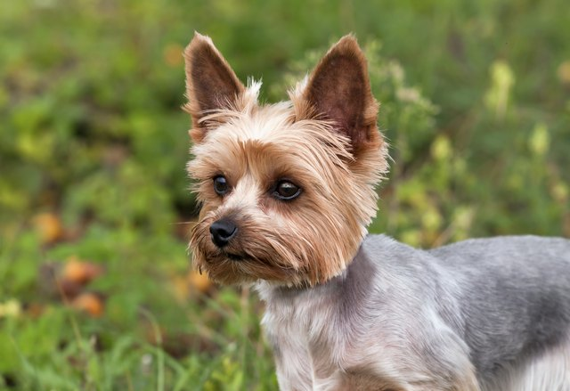 What Is The Difference Between A Yorkie A Silky Terrier Cuteness